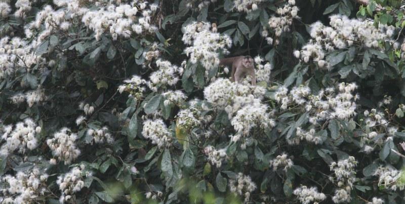 Capuchin in flowers
