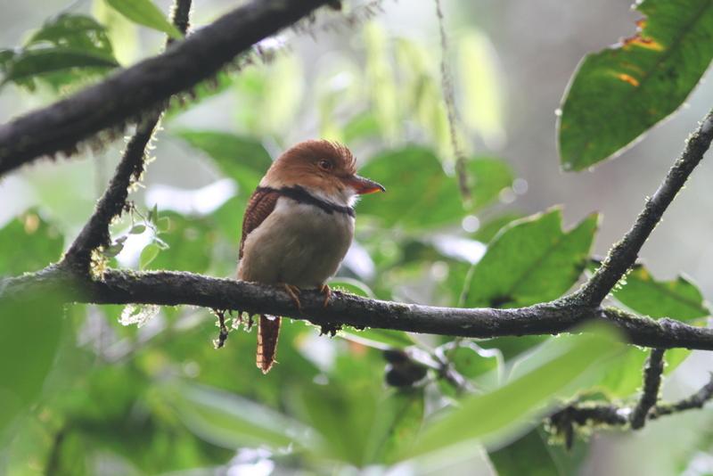 Bucco capensis