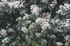 Capuchin in flowers