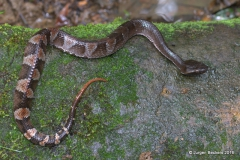 Bothrocophias hypophora, a rare pit-viper.