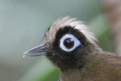 Hairy-crested Antbird, a shy follower of army ants.
