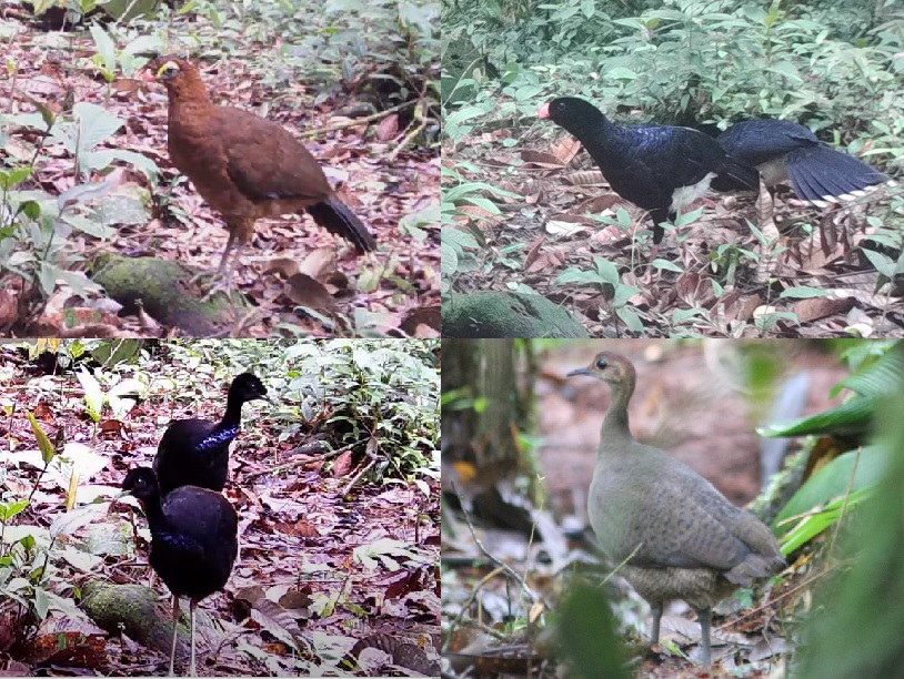Nocturnal Curassow, Salvin's Curassow, Grey-winged Trumpeter, Great Tinamou